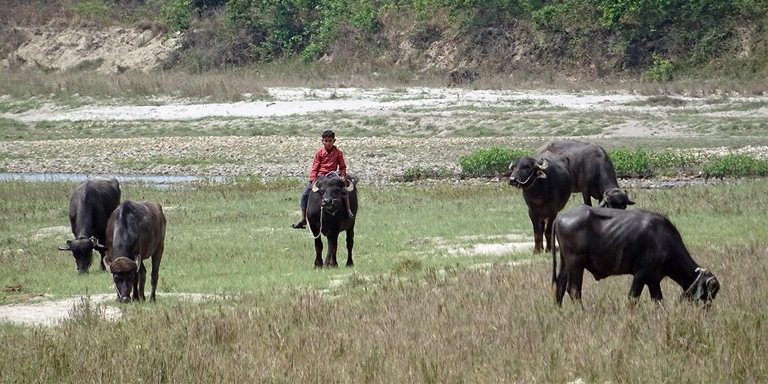 Boy watching water buffalos