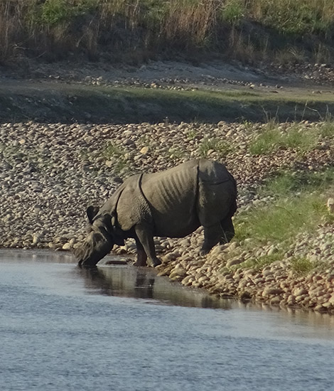 Bardia National Park Rhino